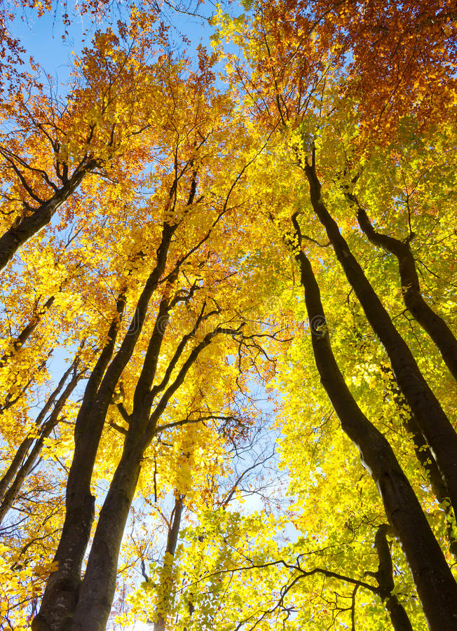 Autumnal trees. Colorful trees in autumnal forest royalty free stock images