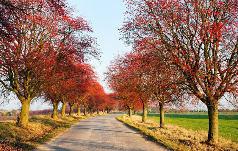 Download Autumnal View Of Alley Of Chokeberry Stock Image - Image: 24775855