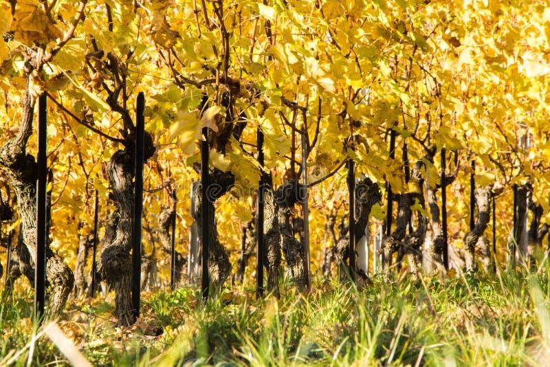 Autumnal vineyards royalty free stock photography