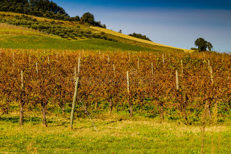 Autumnal Vineyards on badlands. Cultivated fields of red and green leaves Vineyards during Autumn on badlands background in Italian countryside near Brisighella stock photography