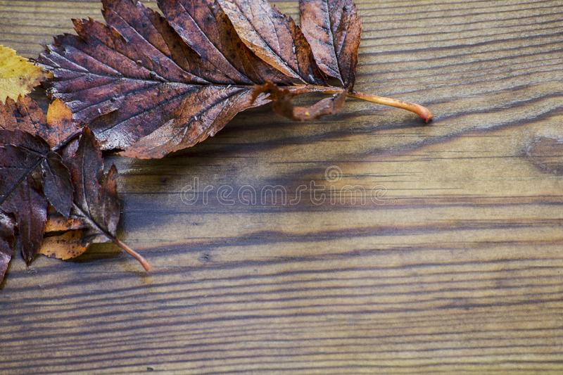 Autumnal wet leaves, red and yellow maple foliage beautiful wooden background texture, selective focus. Dark stock photo