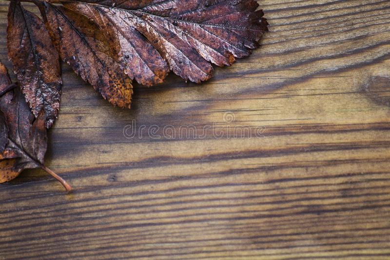 Autumnal wet leaves, red and yellow maple foliage beautiful wooden background texture, selective focus. Dark stock photography