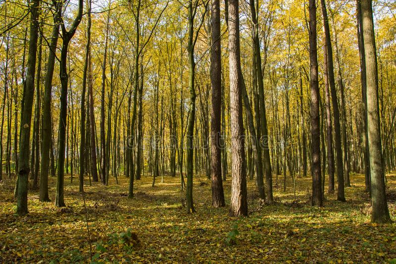 Autumnal yellow forest on a sunny day. Autumnal yellow forest with fallen leaves on a sunny day royalty free stock images