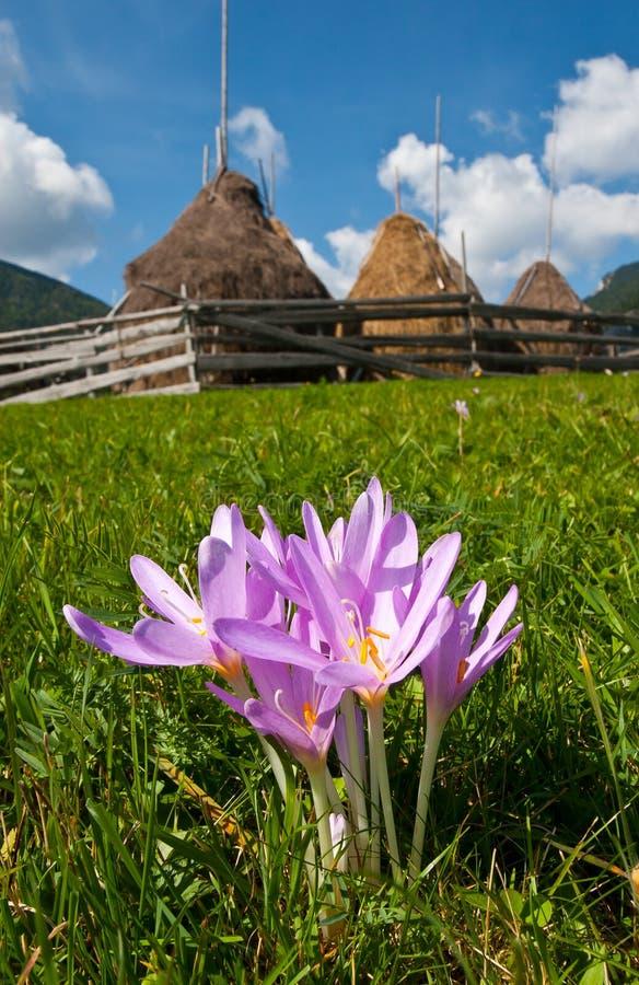 Autumnale do Colchicum foto de stock royalty free
