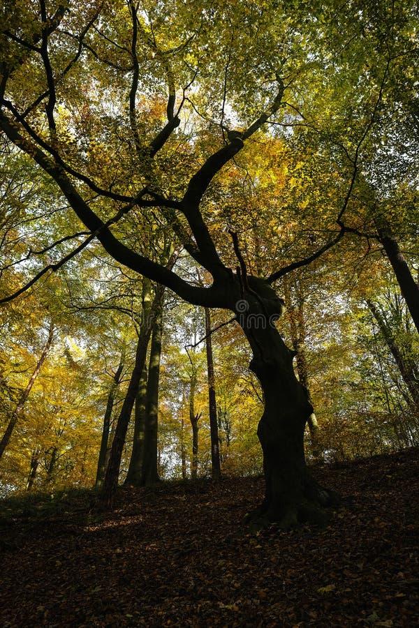Autumnally barwił, gnarled, buk obraz stock