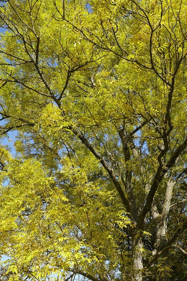 Autumnally drzewa wierzchołki obrazy royalty free