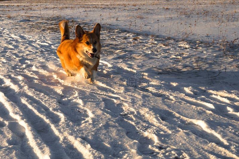 Autumnh saisonnier de chien de pembroke de corgi de Gallois, marche d'hiver image libre de droits