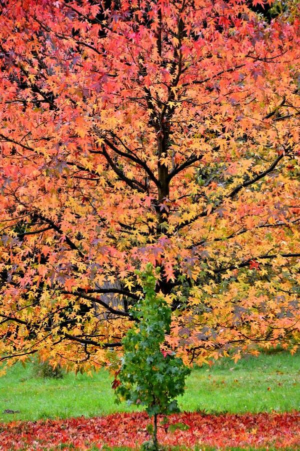 Autunno all'arboreto di Lynford fotografia stock libera da diritti