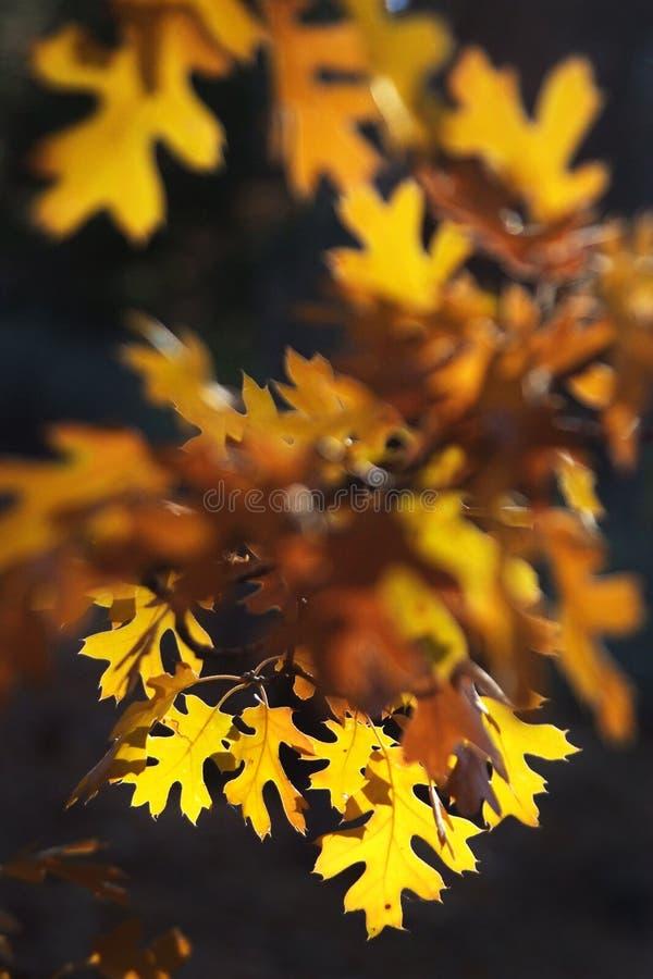 Autunno ambrato fotografie stock