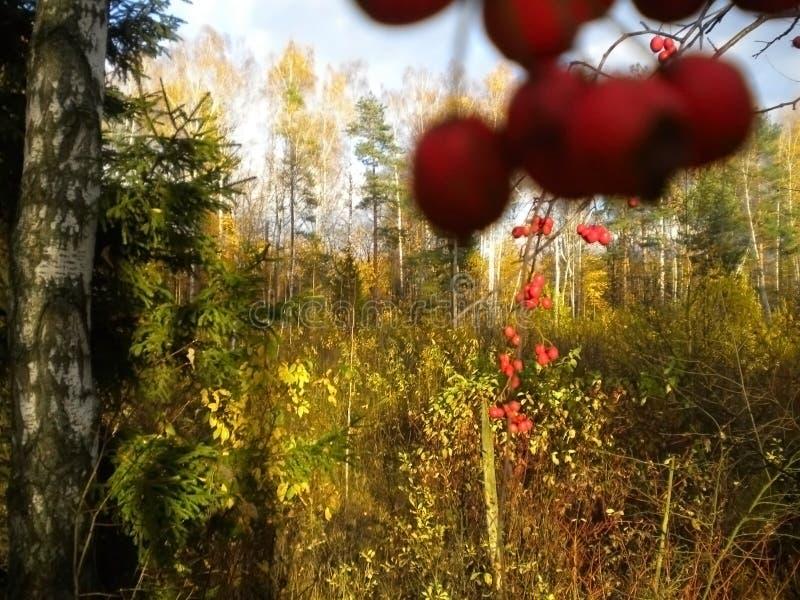 Autunno, bacche rosse, periodo di bello oro, natura, primo piano fotografie stock libere da diritti