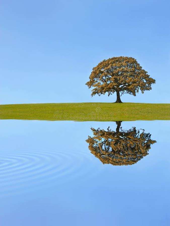 Autunno dell'albero di quercia fotografie stock libere da diritti