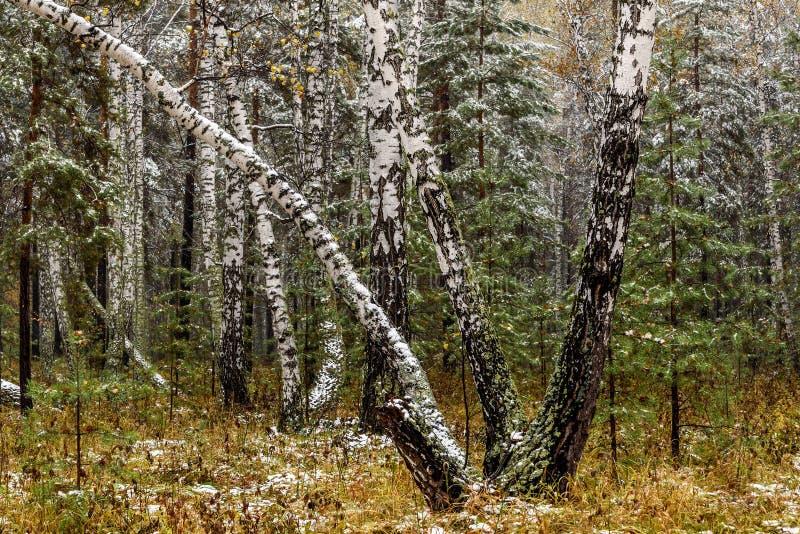 Autunno della neve della foresta della betulla primo fotografia stock libera da diritti