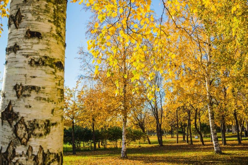Autunno dorato - alberi di betulla gialla in un parco in tempo soleggiato fotografie stock libere da diritti