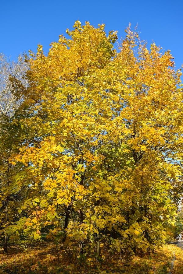 Autunno dorato Foglie di acero di autunno fotografie stock