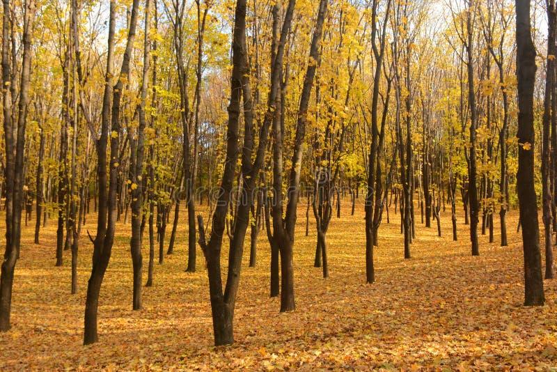 Autunno dorato nel paesaggio di autunno della foresta nei precedenti del tramonto Tappeto delle foglie di acero fotografia stock
