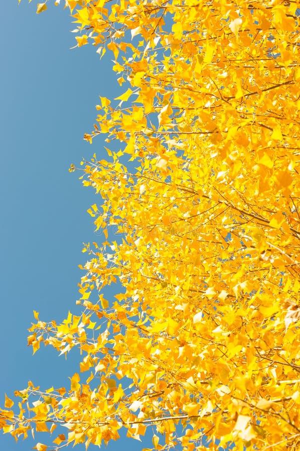 Autunno dorato Sui precedenti di cielo blu fotografia stock