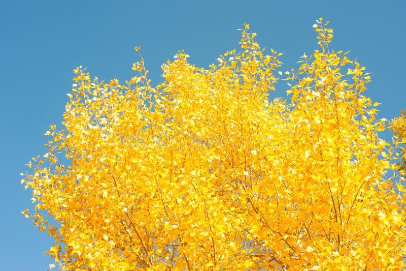 Autunno dorato Sui precedenti di cielo blu immagine stock