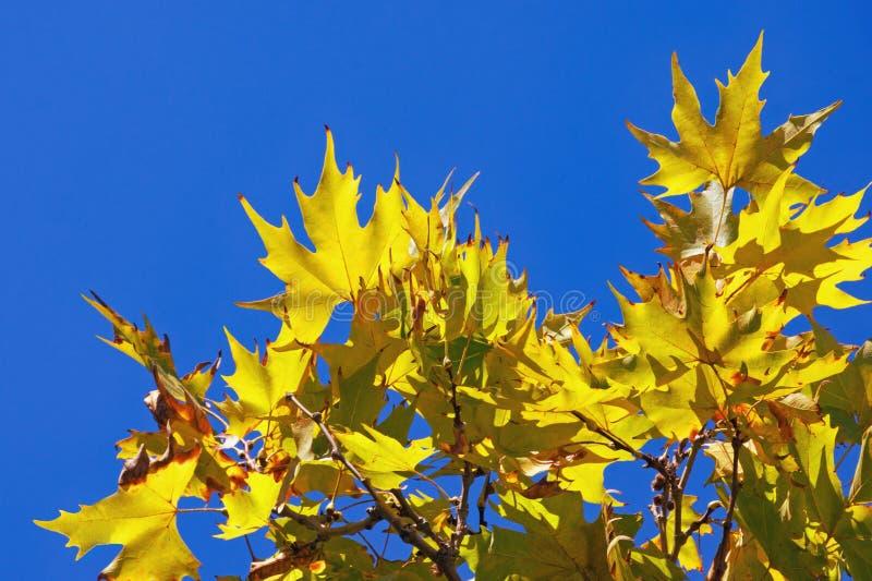 Autunno Foglie di giallo contro cielo blu il giorno soleggiato Rami dell'albero piano orientale immagini stock