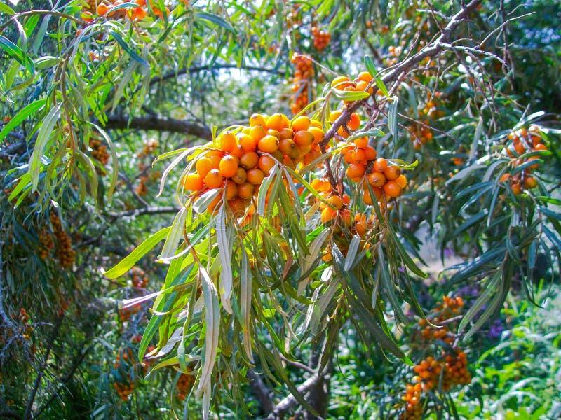 autunno, marino spincervino, hippophae, frutta immagini stock