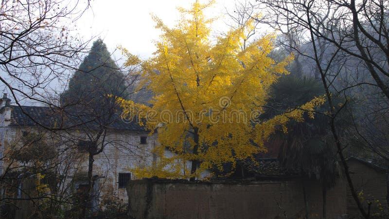 Autunno nell'Anhui del sud, alberi dorati del ginkgo immagine stock libera da diritti