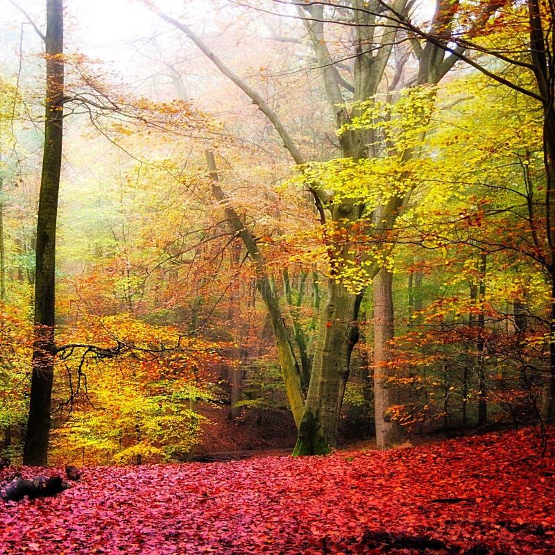 Autunno nella foresta del faggio fotografia stock libera da diritti