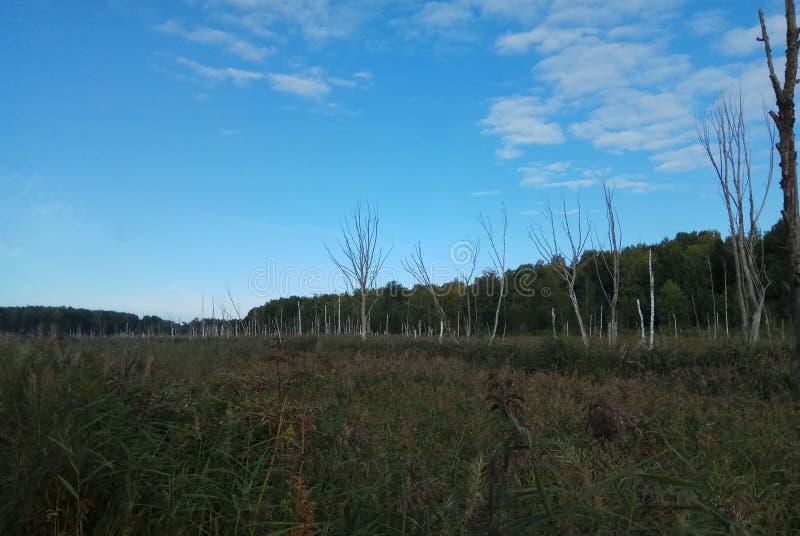 Autunno Paesaggio della foresta Cielo blu ed alberi con le foglie gialle e nessun foglie orizzonte sfondo naturale della Russia fotografia stock