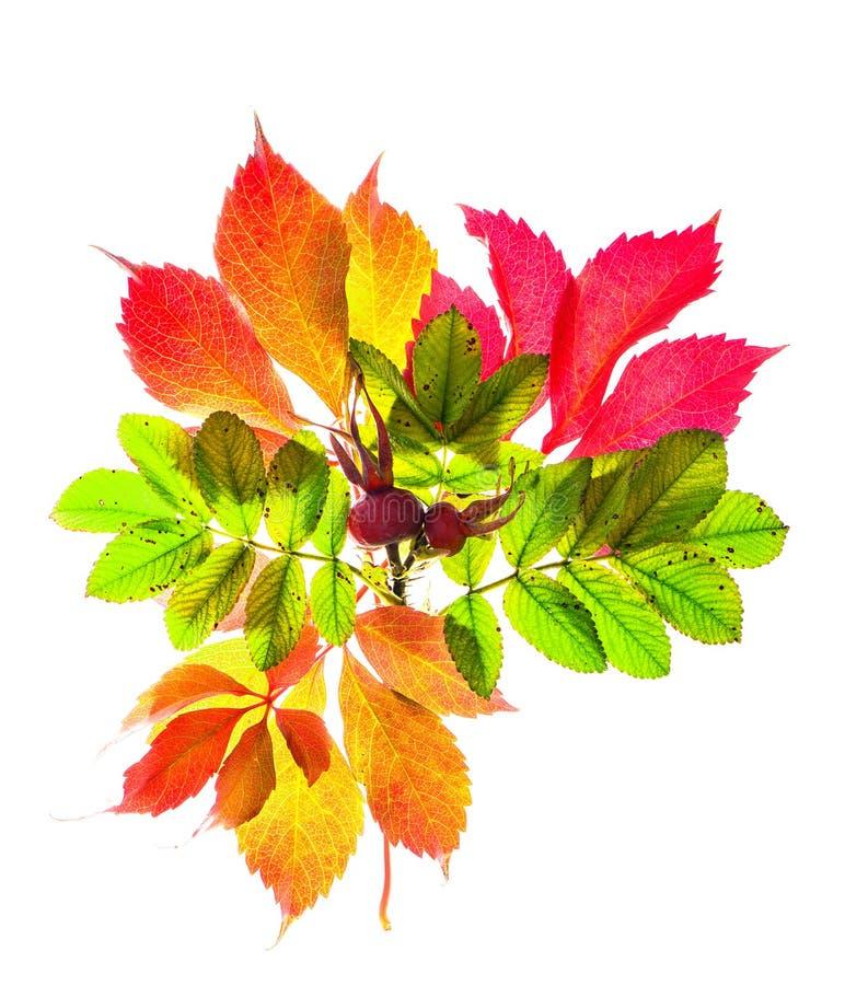 Autunno rosso e foglie gialle isolate su fondo bianco fotografie stock libere da diritti