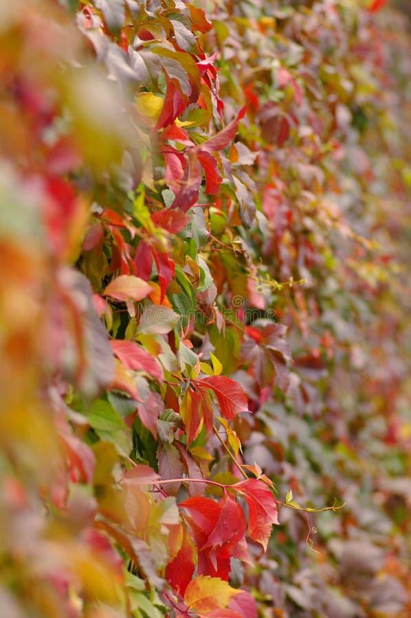 Autunno rosso, fondo giallo delle foglie fotografia stock libera da diritti