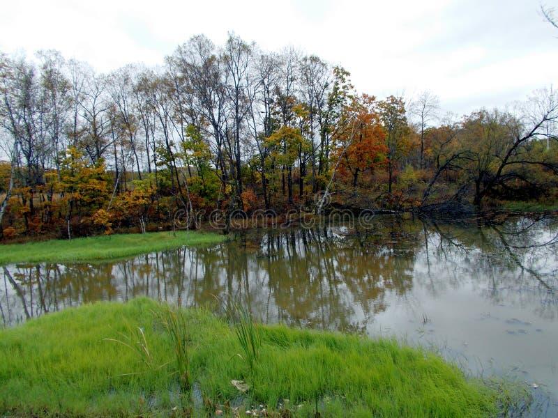 Autunno Una piccola palude della foresta un giorno nuvoloso fotografie stock libere da diritti
