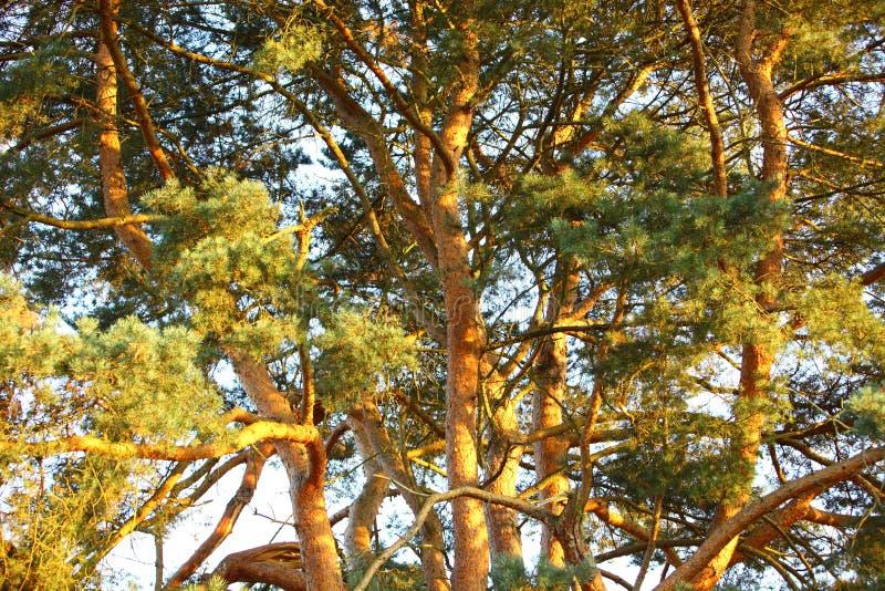Auvent d'un pin de propagation photographie stock