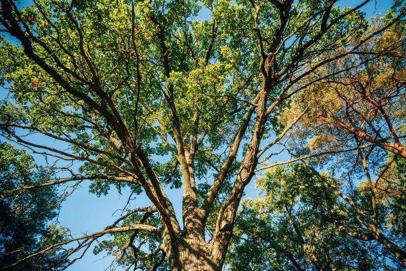 Auvent de chêne grand Sunny Deciduous Forest photos libres de droits