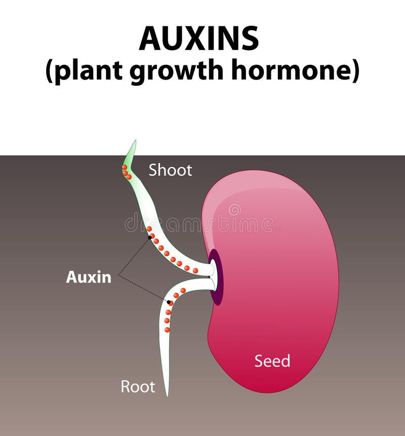 Auxinas hormona de planta libre illustration
