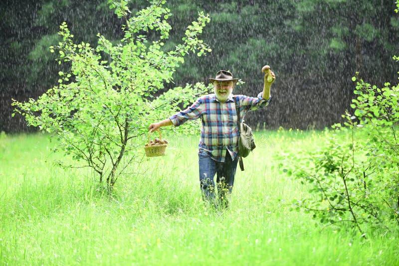 Avô feliz com os cogumelos no busket que caça o cogumelo na chuva morna do verão Bagas selvagens de escolha superiores e imagem de stock