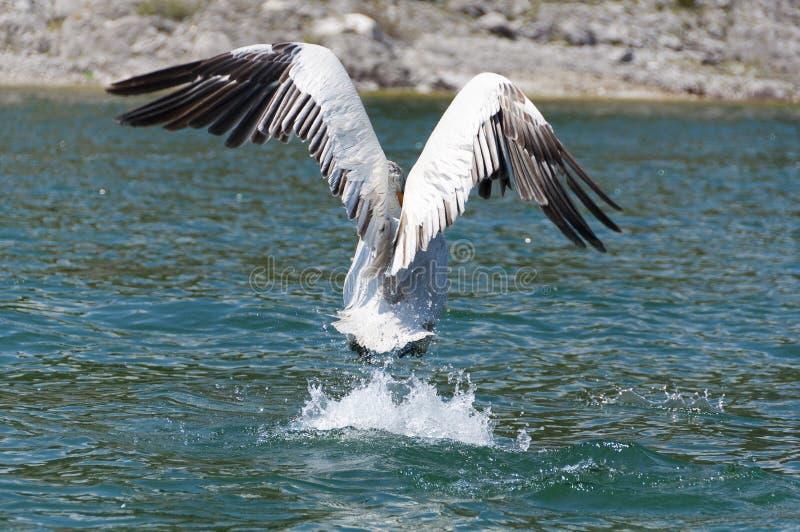 av att ta för pelikan royaltyfri bild