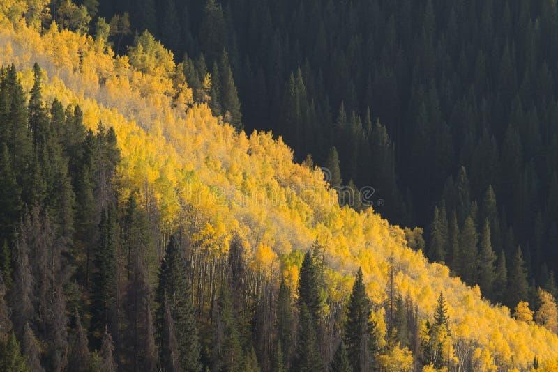 Avalanche of Golden Aspen Trees in Vail Colorado stock photos