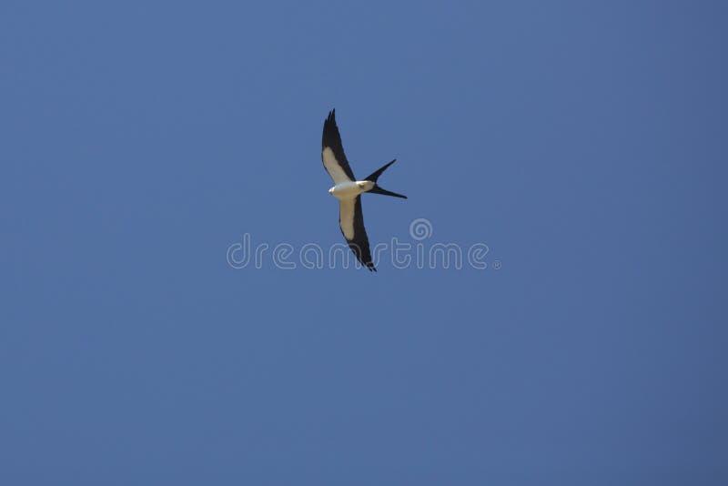 Avalez le cerf-volant de queue montant contre le ciel bleu en Floride photos libres de droits