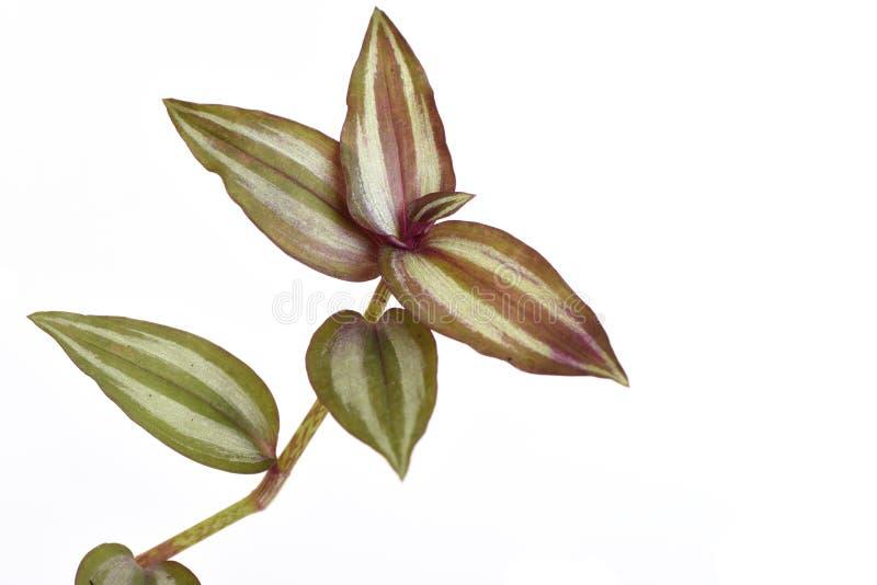 Avance a planta, zebrina de vagueamento var do Tradescantia do judeu Zebrina fotos de stock royalty free