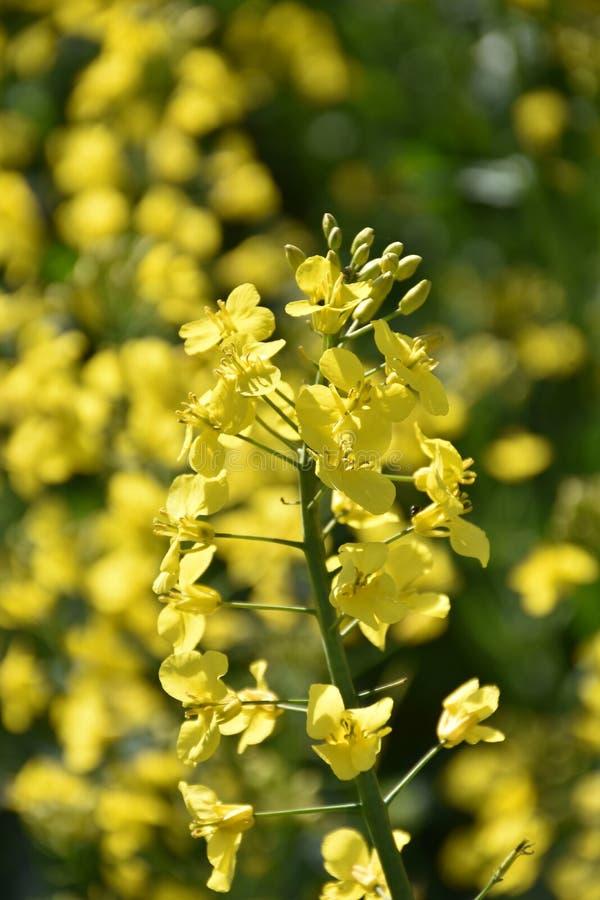 Avandning nära blommande gult rapsfrö royaltyfri fotografi