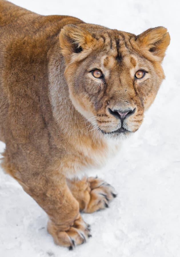 Avant d'un regard fixe prédateur vorace femelle de lionne, de museau et de pattes des yeux jaunes, fond blanc photo stock