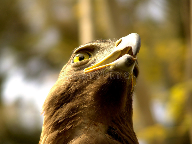 Avant réel d'aigle photos stock
