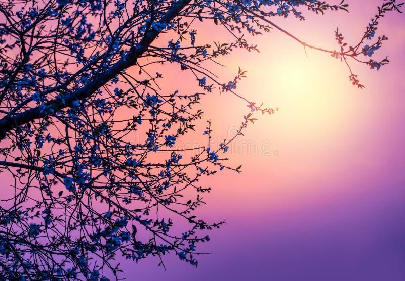 Körsbärsröd blomning över purpurfärgad solnedgång fotografering för bildbyråer