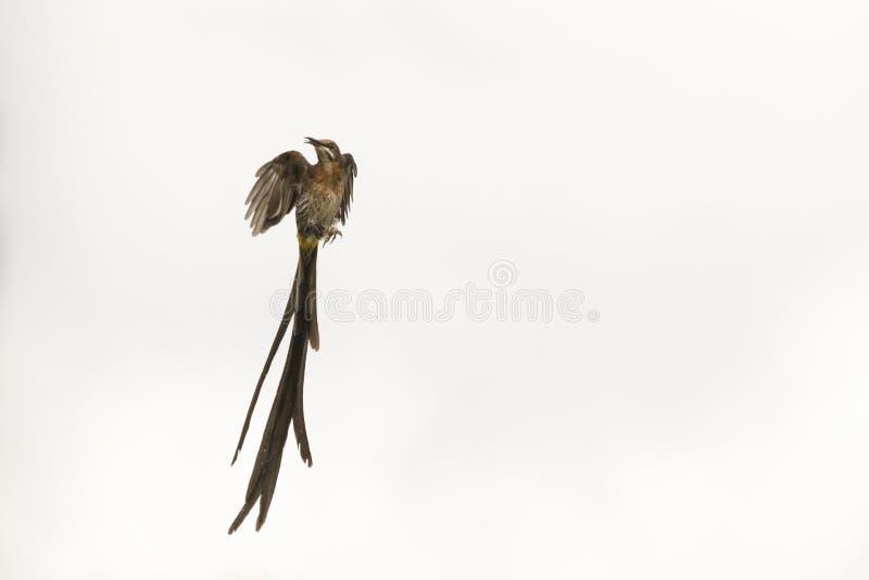 Ave azúcares macho en vuelo fotografía de archivo libre de regalías