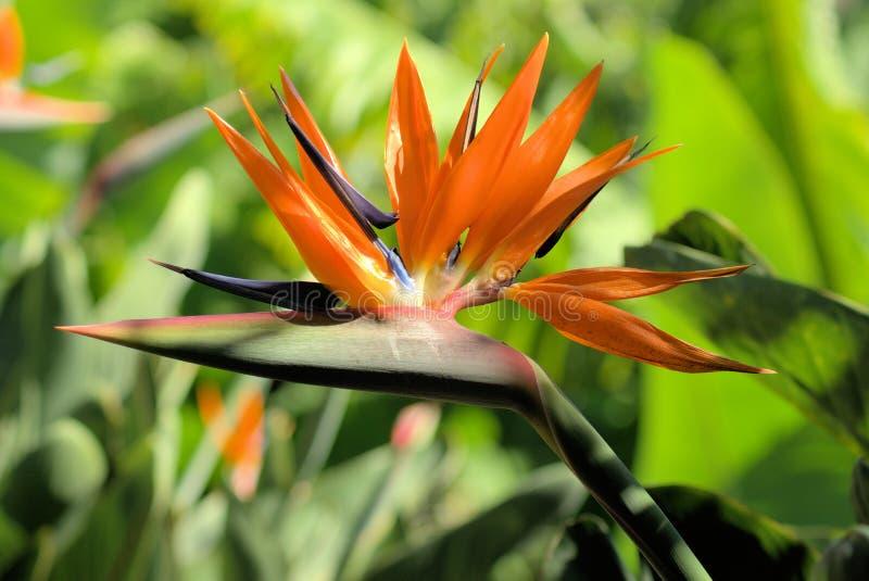 Ave del paraíso en la isla de Madeira fotografía de archivo