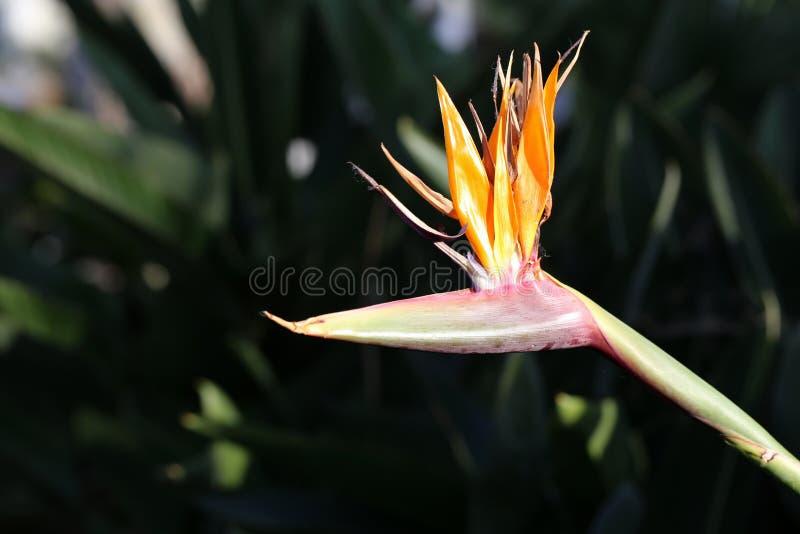 Ave del paraíso hermosa de la flor de Reginae del Strelitzia fotografiada en Madeira imagen de archivo