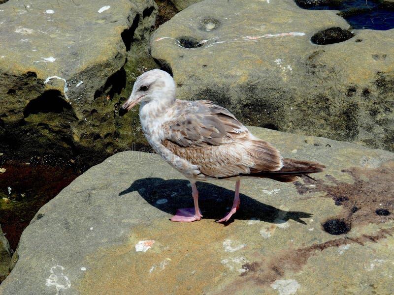 Ave marina y su sombra en una roca fotografía de archivo libre de regalías