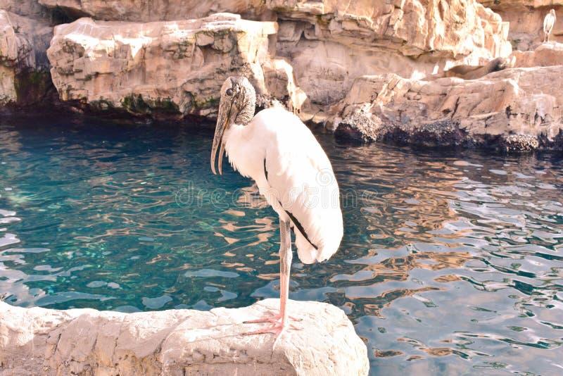 Ave marinho que descansa na rocha, na conserva pacífica do ponto em Marine Theme Park na movimentação internacional imagem de stock royalty free