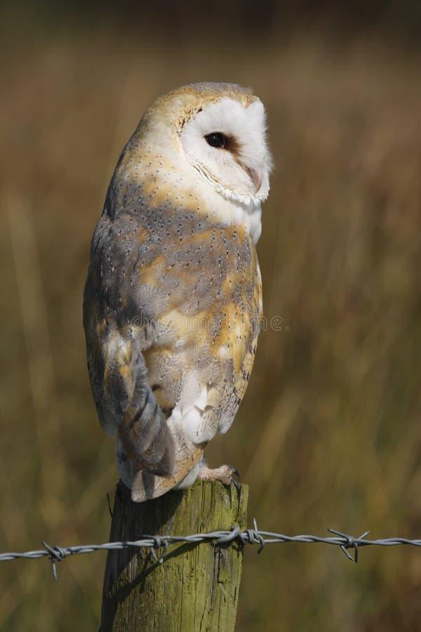 Ave rapaz alba de Owl Tyto del granero fotos de archivo