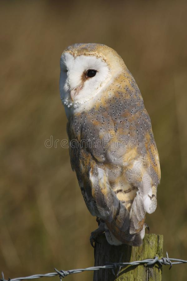 Ave rapaz alba de Owl Tyto del granero imagen de archivo libre de regalías