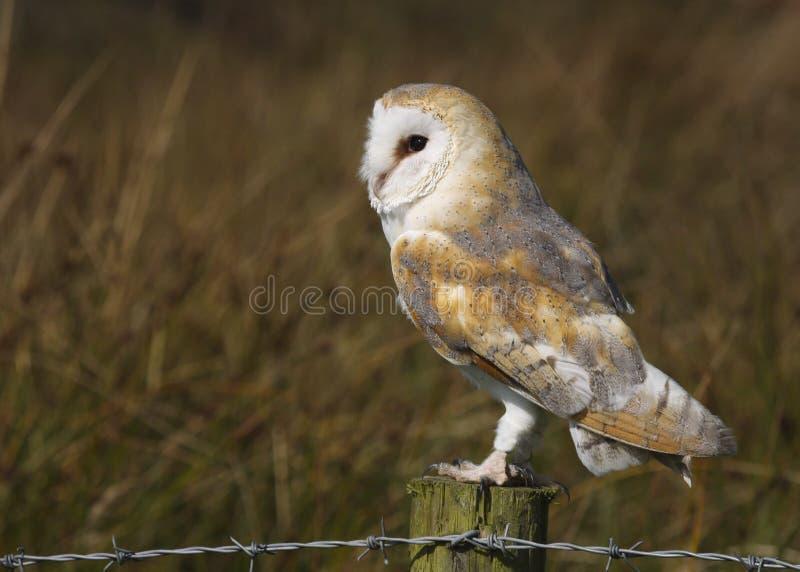 Ave rapaz alba de Owl Tyto del granero imágenes de archivo libres de regalías