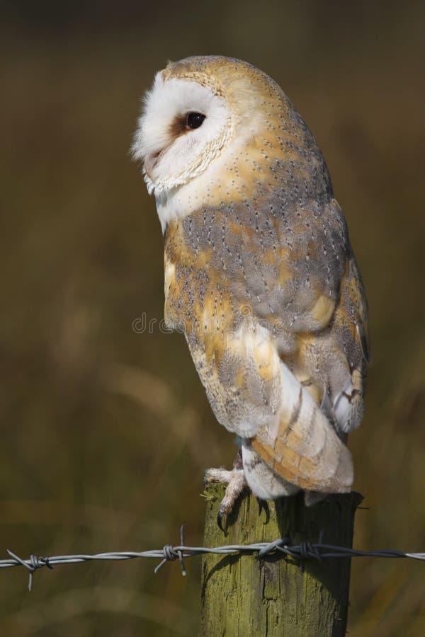 Ave rapaz alba de Owl Tyto del granero fotos de archivo libres de regalías